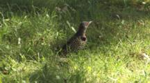 Northen Flicker On Ground, Feeding, Looking For Danger
