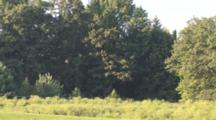 Nighthawks Migrating, Catching, Feeding On Insects In Field Near Diciduous Trees
