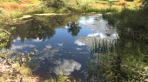 Small Wetland Habitat, Cloud Reflection, Pond Reeds, Plants, Grasses