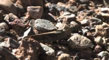 Carolina Grasshopper, Hiding Among Small Stones, Moving Legs