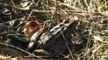 Northern Leopard Frog In Grass, Sitting Still