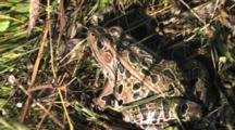 Northern Leopard Frog In Grass, Exits