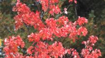 Maple Tree, Red Leaves, Zoom To Fir Trees, Northern Minnesota Fall