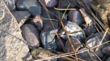 Northern Walking Stick, Mimic, Hiding Within Pine Needles On Rocks