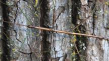 Northern Walking Stick , Motionless Against Pine Tree Trunk