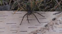 Wolf Spider, Still, Front Of Body Across Birch Bark