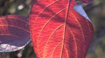 Red Leaves, Fall Colors, Zoom To Cu, Yellow Veins