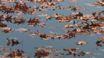 Floating Leaves In Slow Drifting Current, Mirrored On Surface Of Lake