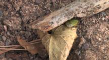 Green Stink Bug, Moving Toward Cover Beneath Branch