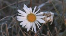 Last Daisy Of The Season, Other Frozen Blossom, Frost On Grass