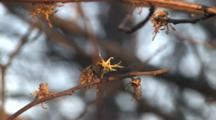 American Witch-Hazel Flower, Fall-Flowering Shrub, Single Flower Open On Stem