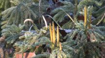 Ground Pine, Club Moss, Zoom To Cu Strobili, Before Releasing Spores