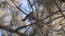 Black-Capped Chickadee In Red Pine, Exits