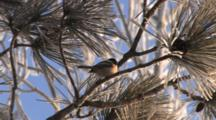 Black-Capped Chickadee In Red Pine, Looking Back And Forth