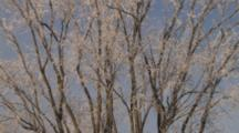 Frosted Elm Branches, Against Blue Winter Sky
