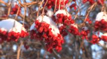 Highbush Cranberry Bush, Zoom To Cu Berries, Covered With Snow