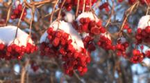 Highbush Cranberry Berries, Covered With Snow