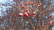 Highbush Cranberry Berries, Covered With Snow, Zoom Out To View Of Entire Shrub