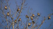 Bohemian Waxwings, Sunning In Bare Branches Of Poplar Tree, Some Exit