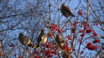 Bohemian Waxwings Feeding In Highbush Cranberry, One Exits