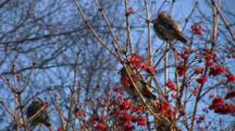 Bohemian Waxwings Feeding In Highbush Cranberry, One Juggles Berry, Eats