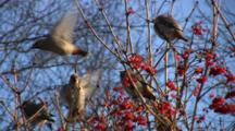 Bohemian Waxwings Feeding In Highbush Cranberry, Entering, Exiting