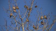 Winter Poplar Tree Against Blue Sky, Zoom To Bohemian Waxwings, Sunning
