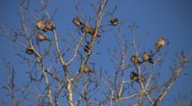 Bohemian Waxwings, Sunning, Sleeping, Preening In Bare Branches Of Poplar Tree
