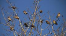 Bohemian Waxwings, Sunning In Bare Branches Of Poplar Tree, Some Exiting Down To Feed