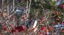 Bohemian Waxwings Feeding In Highbush Cranberry, Juggling Berries, One Exits