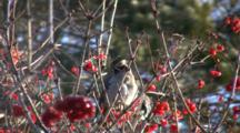 Bohemian Waxwings Feeding In Highbush Cranberry