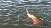 Brook Trout Fishing, Minnesota Lake, Trout Fatigued On Surface