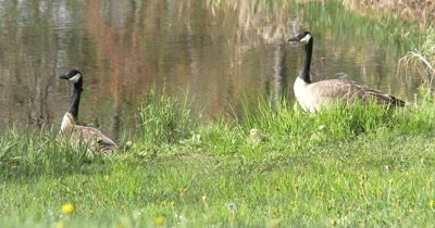 Canada Geese and Goslings Standing By Pond