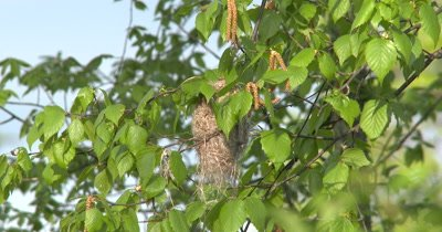 Female Oriole Building Nest,Enters Frame,Enters Nest