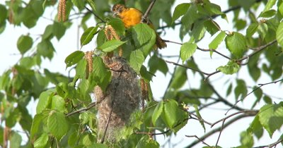 Female Oriole With Nesting Material,Enters Nest Under Construction