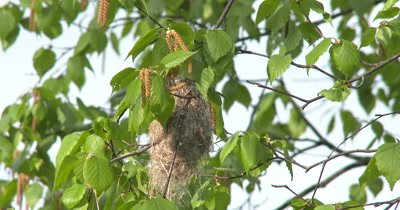 Oriole Nest Under Construction,Female Moving Around Inside Nest,Exits