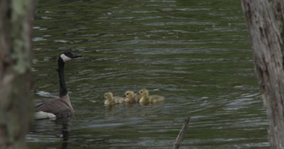 Female Canada Goose Protecting Young Chicks from Fighting Males