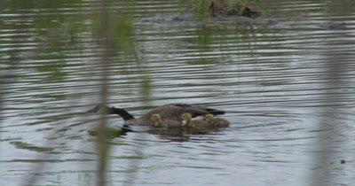 Canada Geese Parents Protecting Young,Gander Re-enters Frame,Greets Family,Flaps Wings