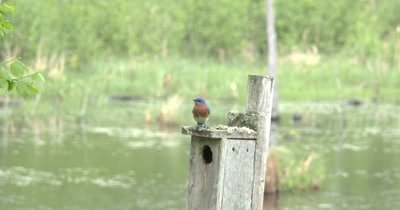 Bluebird Male on House,Female Looks out of House,Exits