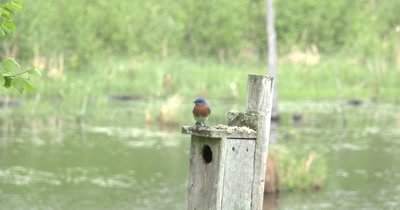 Male Bluebird on House,Looking Back and Forth