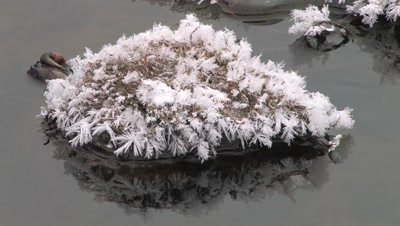 Leafy Ice Crystals Formed on Small Grass Island in Stream