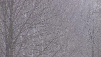 Hard Snow, Deciduous Trees