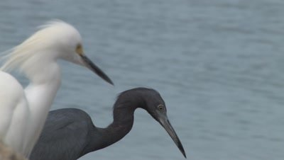 Snowy Egret and Little Blue Heron Hunting