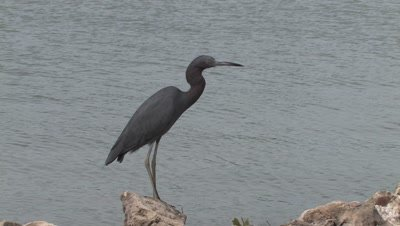 Little Blue Heron Walking Along Shore at Low Tide,Hunting