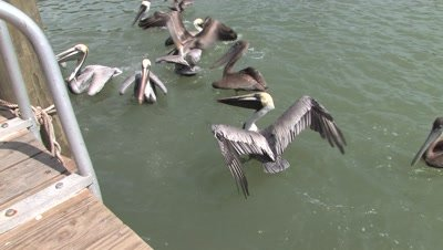 Pelicans Fighting for Scraps of Fish