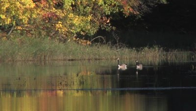 Canada Geese Swimming in Small Lake,Reflection of Autumn Colors in Water