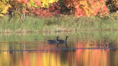 Canada Geese Swimming,Exit,Small Lake,Autumn Colored Leaves Reflecting in Water
