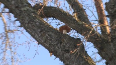 Large Elm Tree,Zoom to Show Mushroom Growing High in Tree