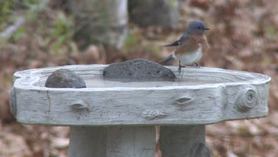 Bluebird in BirdBath, Bathes, Hops Onto Edge, Turns Toward Camera, Fluffs, Exits