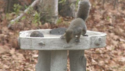 Grey Squirrel Drinking From Birdbath,Exits